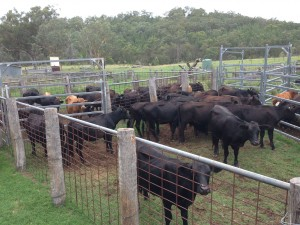 Separate the Steers
